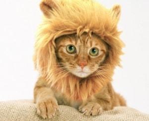 funny cat lion mane